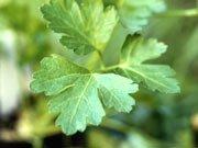 Prøv også Eventyrsmak Persille - glattbladet - 20 gram Boks.
