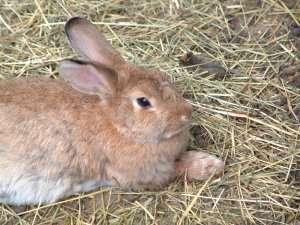 Prøv også Kanin, rå.